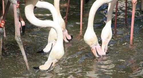 Hora de alimentação dos flamingos