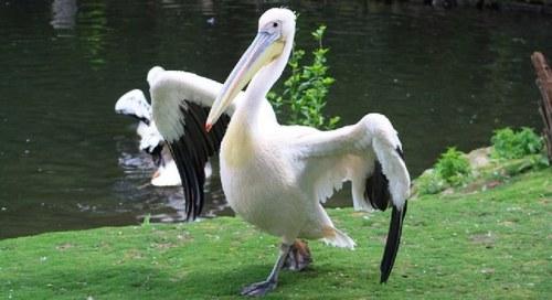 Pelicanos e Companhia